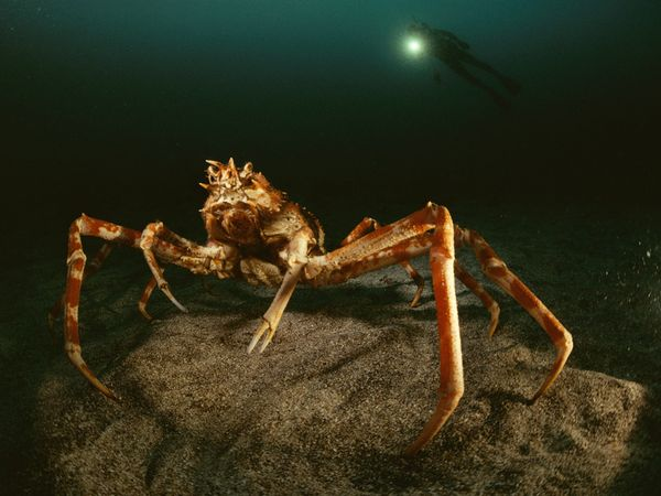deep-sea02-spider-crab_18162_600x450