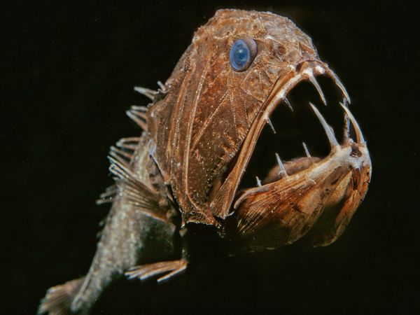 deep-sea04-fangtooth_18164_600x450