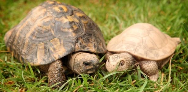 tartaruga-rejeitada-faz-amizade-com-brinquedo-1279053662307_615x300