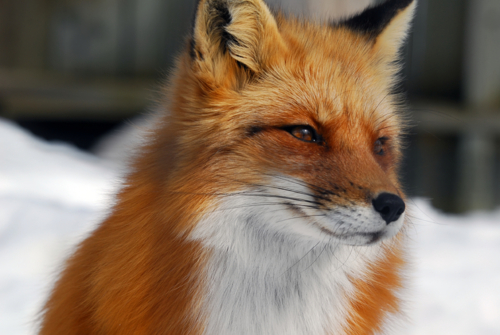 Red-foxes-fox-28337610-500-335