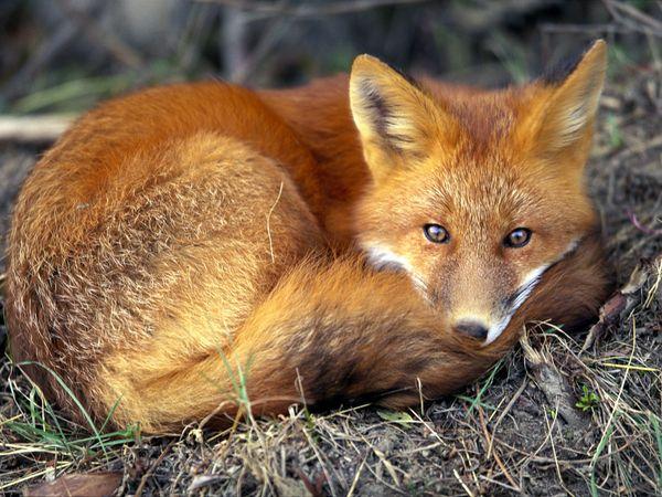 red-fox_679_600x450