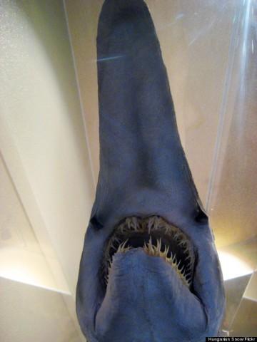 o-GOBLIN-SHARK-570