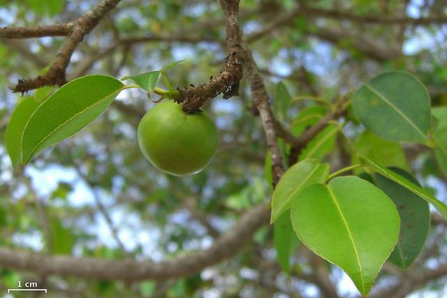 """Foto do fruto da """"Árvore da Morte"""" em ilha Santa Cruz, Galápagos. Crédito da imagem de Jason Holling/Flickr. (CC by 2.0)"""